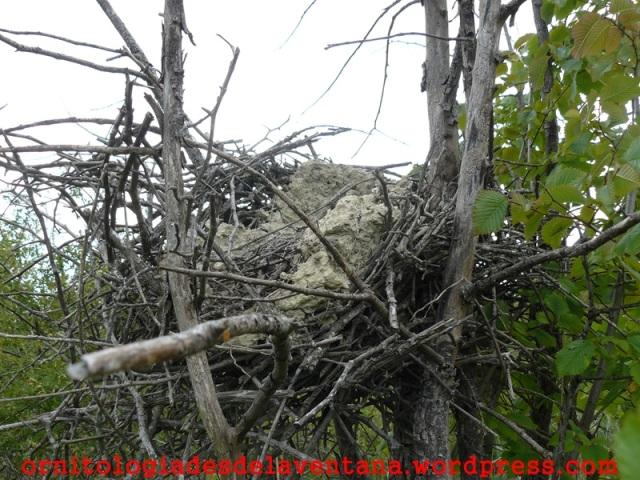 Antiguo nido de urraca.  Ezkaba 2014-06-11