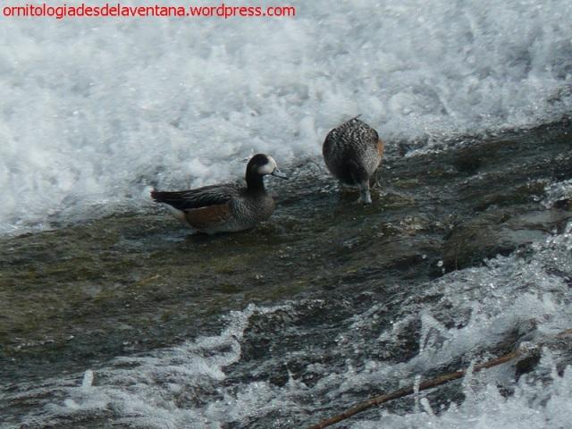 Ánades overos en el Arga en la presa de Santaengracia